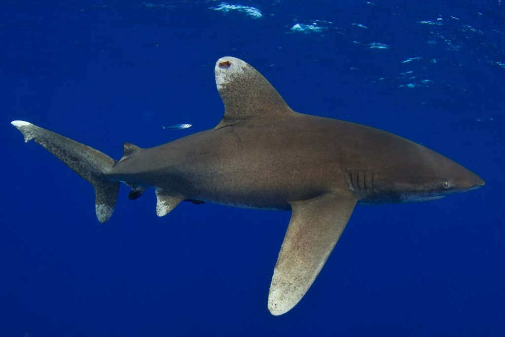 oceanic whitetip shark #1076