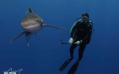 shark diver oceainc whitetip