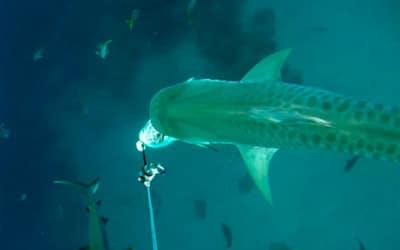 tiger shark cape eleuthera study