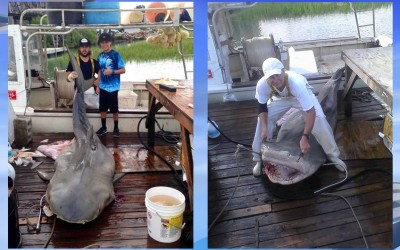 14 foot tiger shark killed