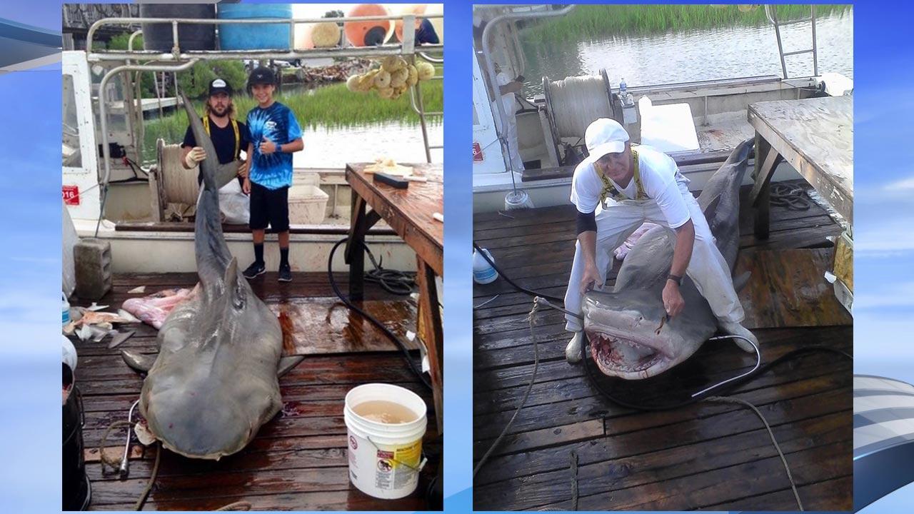 14 foot tiger shark killed