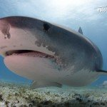 tiger shark at tiger beach bahamas