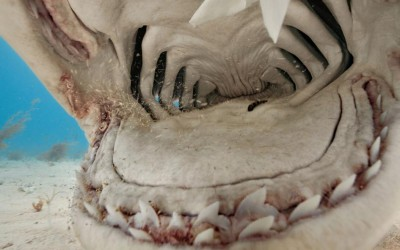 deep look into the mouth of a tiger shark