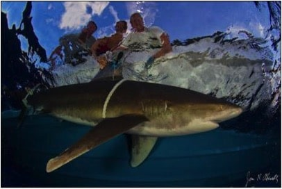 oceanic whitetips shark research group