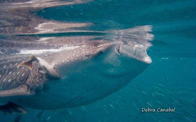 whale shark endangered