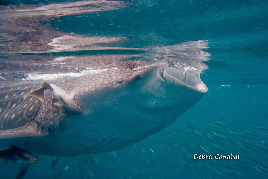 whale sharks endangered