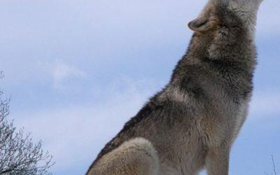wolf yellowstone park