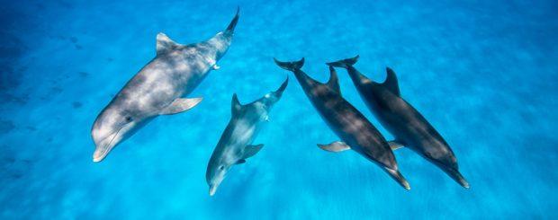 bimini wild dolphin encounter