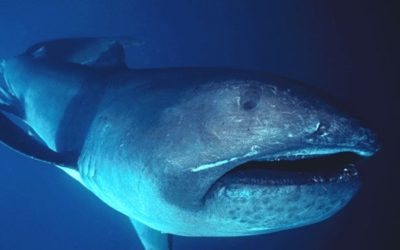 megamouth shark encounter