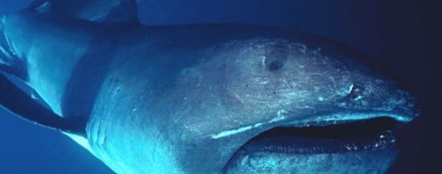 megamouth shark encounter