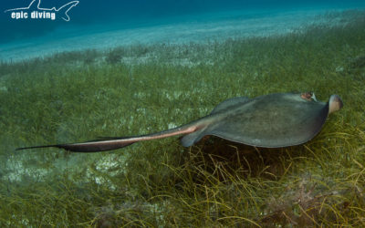 southern stingray grand bahama island
