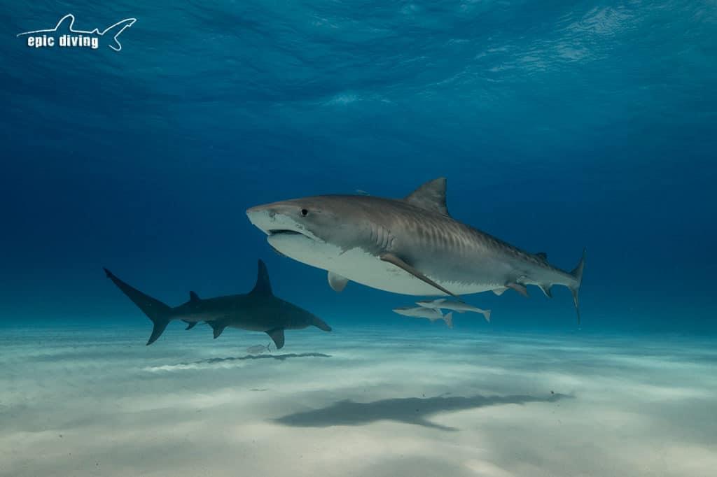 dive with tiger sharks tiger beach bahamas