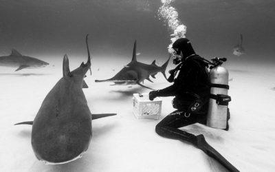 great hammerhead tiger beach shark