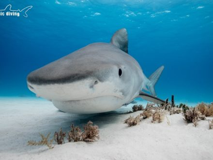 bahamas tiger beach shark diving