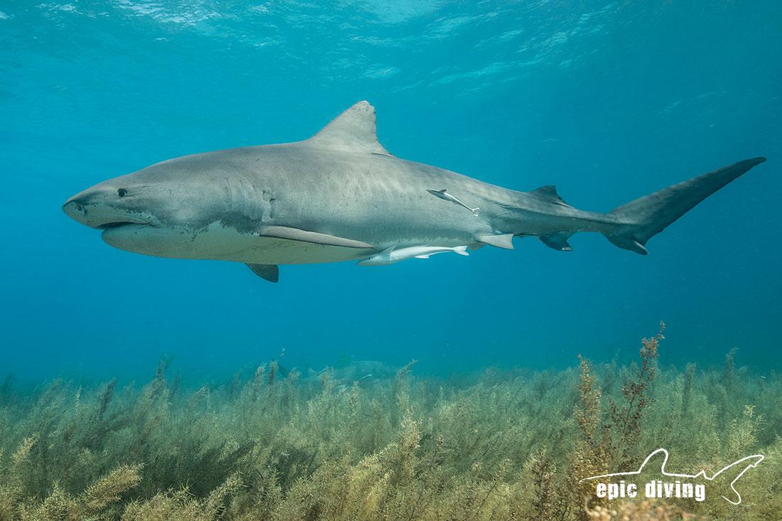 emma tiger shark at tiger beach bahamas