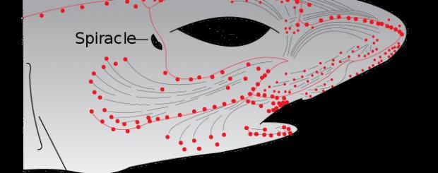 shark senses ampullae of lorenzeni