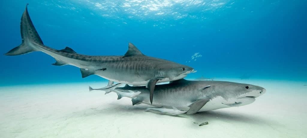 Bahamas Shark Diving - Tiger Beach, Great Hammerheads