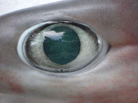shark senses vision