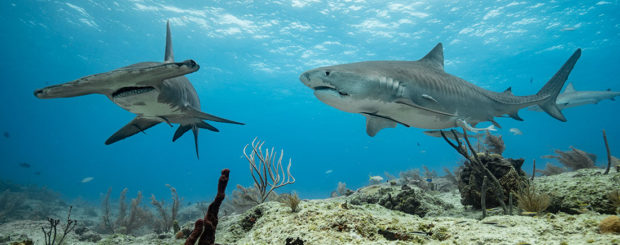 tiger great hammerhead shark bahamas
