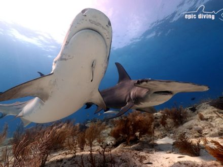 tiger beach great hammerhead shark diving