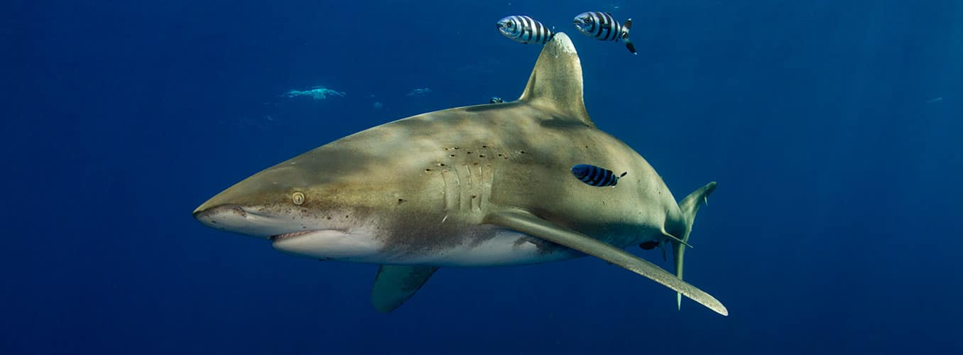 oceanic whitetip shark diving cat island