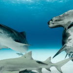 tiger shark and great hammerhead tiger beach bahamas