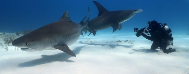 tiger shark great hammerhead bahamas