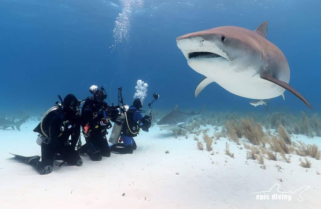 best shark diving bahamas