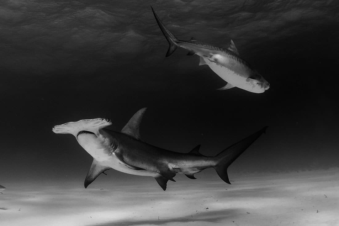 tiger beach bahamas shark diving