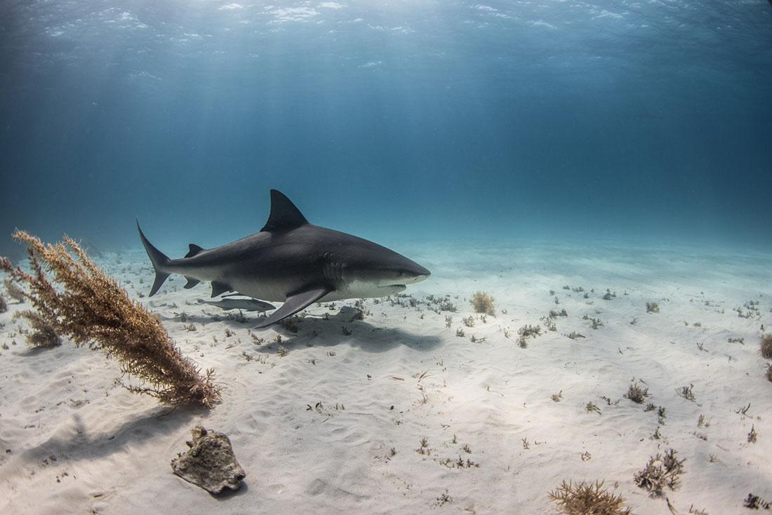 bull shark bahamas