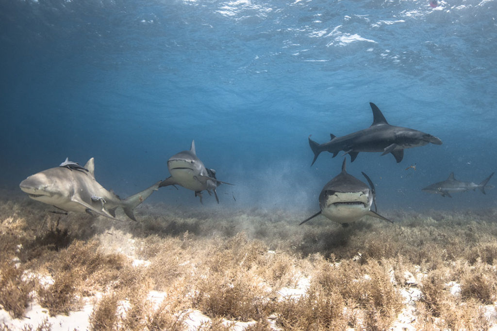 lemon bull tiger hammerhead reef shark bahamas world's best shark dive