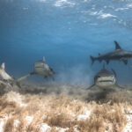 lemon bull tiger hammerhead reef shark bahamas