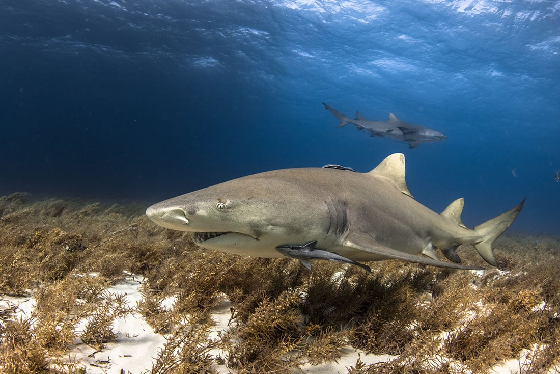 lemon shark scuba diving bahamas
